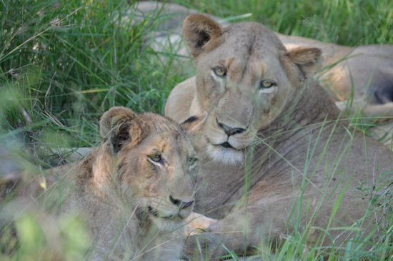 Waterbuck Game Lodge: Lioness