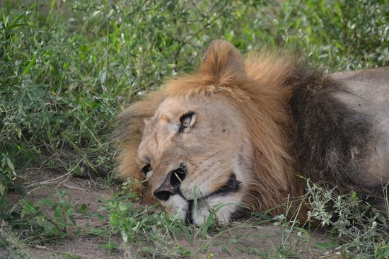 Waterbuck Game Lodge: Lion