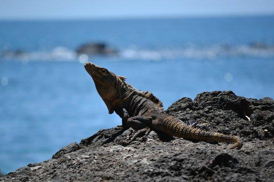 Playa Manuel Antonio : Iguana tomando el sol, sin inmutarse