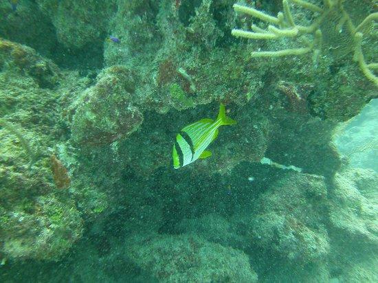 XTC Dive Center: Porkfish