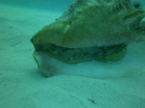XTC Dive Center: conch (live)