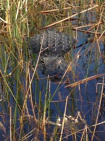 Sawgrass Recreation Park: Gator from our airboat tour
