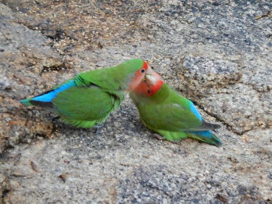 Erongo Wilderness Lodge: Rosy Faced Lovebirds