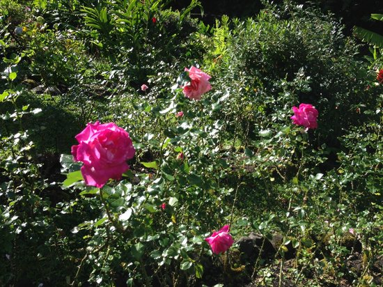 La Montana y el Valle Coffee Estate Inn: Beautiful roses all along the paths on the property