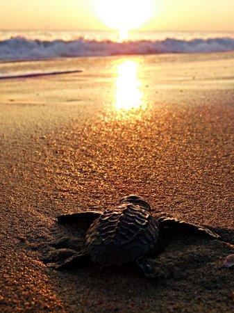 Hotel Suites Villasol: turtle release!