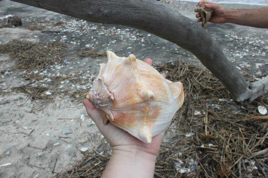 Botany Bay Plantation Heritage Preserve and Wildlife Management Area : Huge shell!