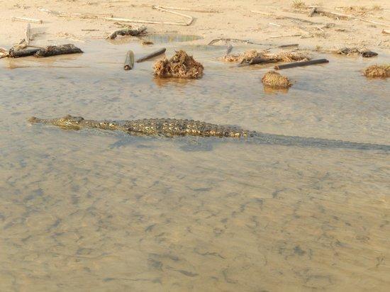 Camp Okavango : Small Croc
