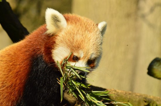 ZSL Whipsnade Zoo: Red Panda munching bamboo