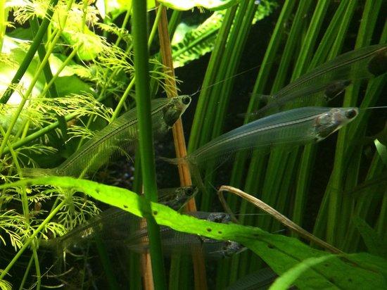 Muséum-Aquarium de Nancy : Transparent fish (not the scientific name!)