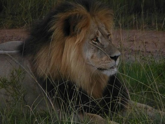 Gondwana Game Reserve: Father Lion looking after his pride