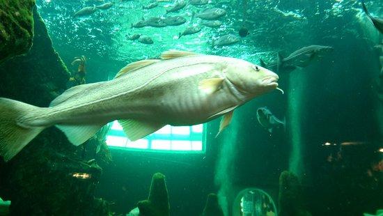 Macduff Marine Aquarium: Massive Cod