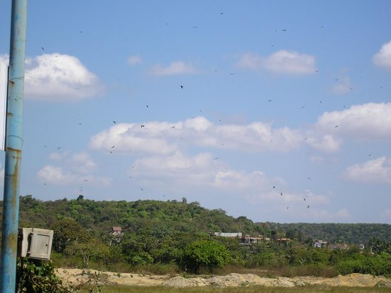Pride Sun Village Resort and Spa: baga fields - sky full of Brahminy kites