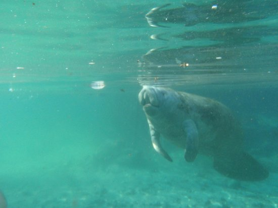 Manatees In Paradise: By the mouth of the spring.