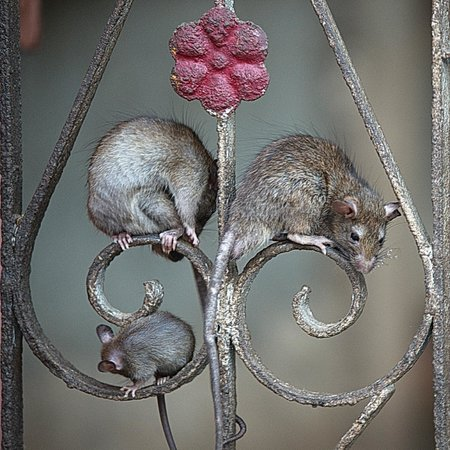 Deshnoke, Indien: Rats on the Railing