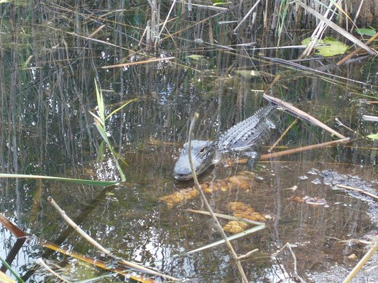 Everglades Holiday Park: local alligator about 3 feet long