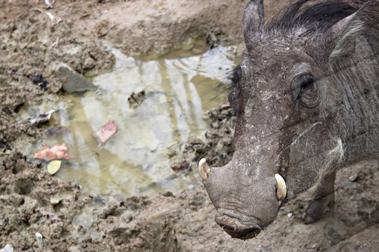 Zoo de Barcelona: Facocero