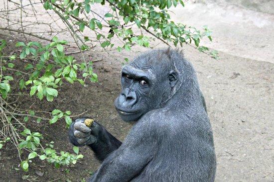 Zoo de Barcelona: Gorilla