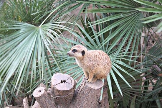 Zoo de Barcelona: Suricata