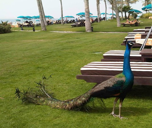 JA Jebel Ali Beach Hotel: Павлин на пляже