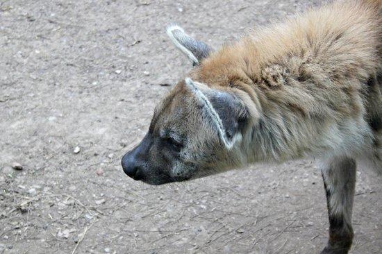 Zoo de Barcelona: Iena