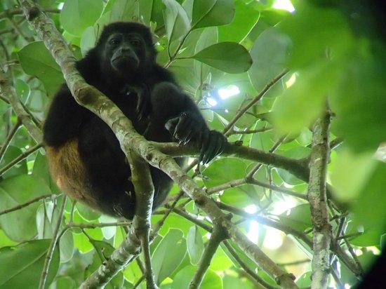 Corcovado National Park : singe hurleur