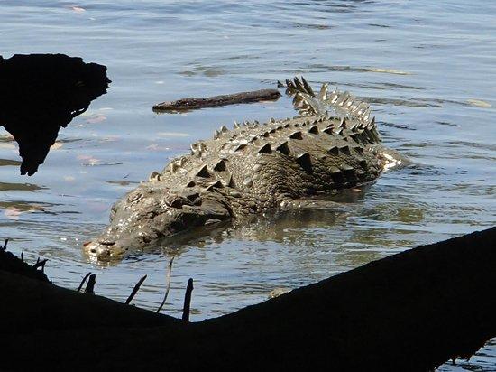 Corcovado National Park : croco!