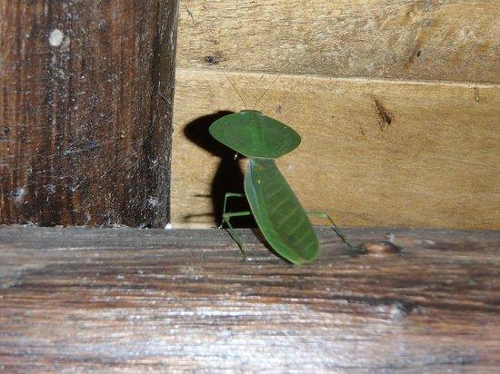 Arenal Oasis Wildlife Refuge: mante religieuse