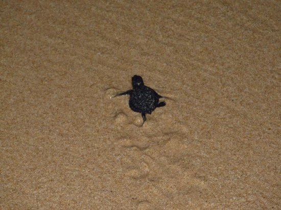 The Fortress: A newly hatched turtle scurrying off to the sea!