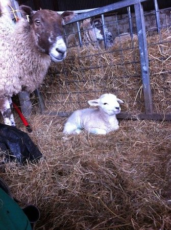 Hinam Farm: A newborn lamb laying in some hay