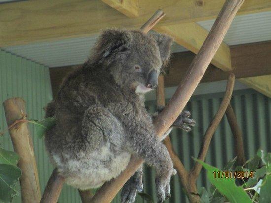 Blue Mountains Canyon and Wildlife Discovery Tour: Koala, so cute!