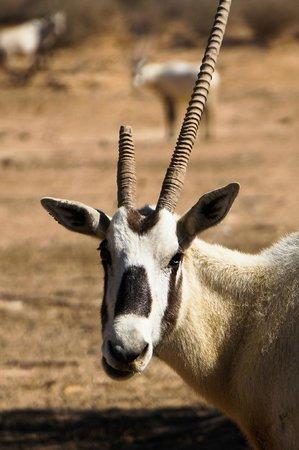 Hai Bar - Wildlife Reserve : A broken horn