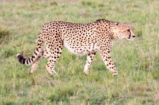 Fairmont Mara Safari Club: Cheetah