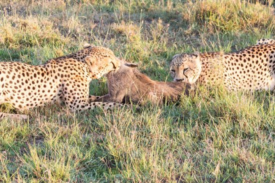 Fairmont Mara Safari Club: Cheetahs with their Warthog kill before the Lions stole it.