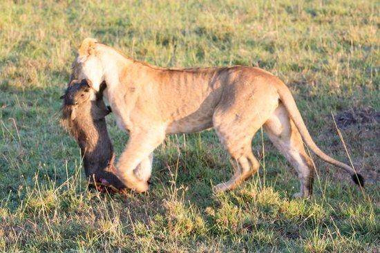 Fairmont Mara Safari Club : Lion stealing the Cheetah's kill