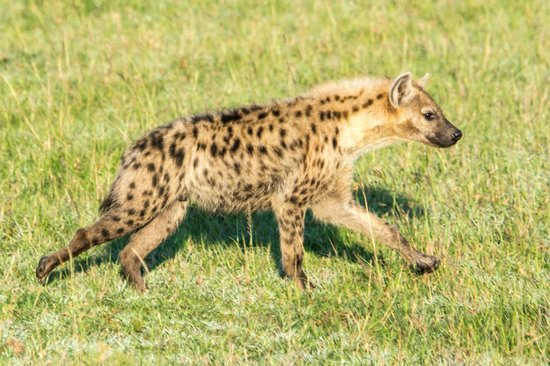 Fairmont Mara Safari Club : Hyena