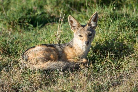 Fairmont Mara Safari Club : Jackal