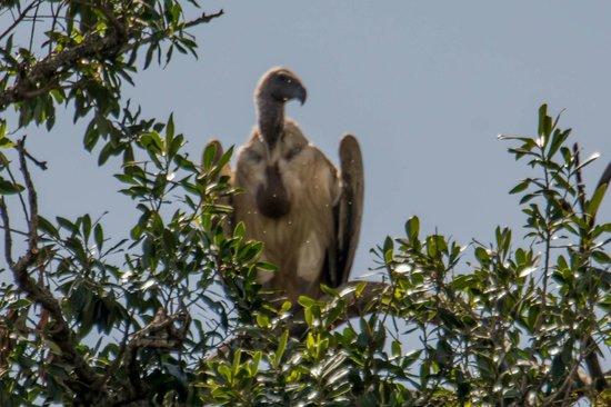 Fairmont Mara Safari Club : Vulture watching our tent!