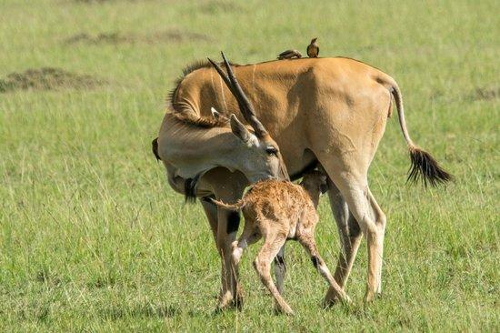 Fairmont Mara Safari Club : New born Hartebeest