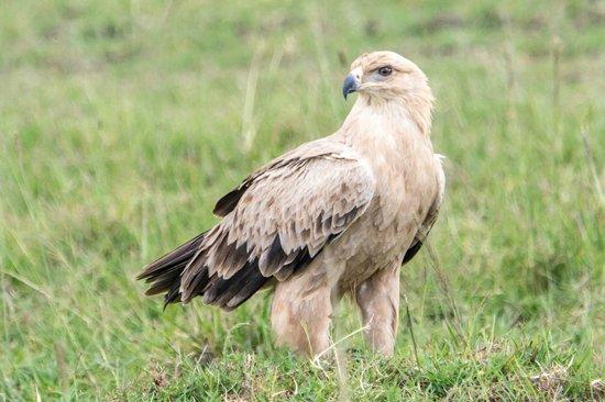 Fairmont Mara Safari Club : Tawny Eagle