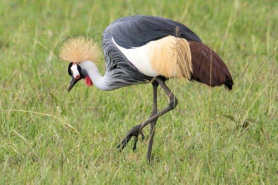 Fairmont Mara Safari Club : Grey Crested Crane