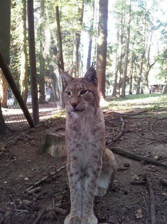 Wildpark Poing: Lynx
