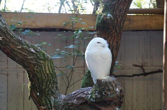 Wildpark Poing: white owl