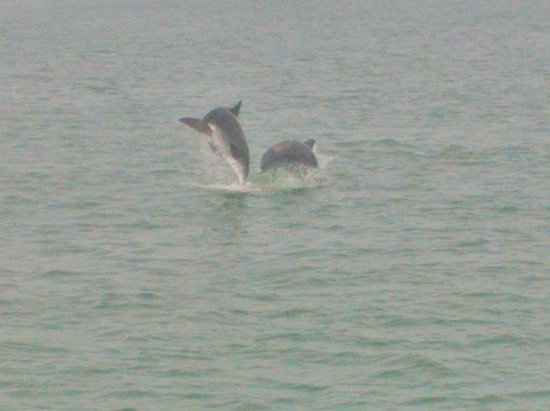 Sirata Beach Resort: Dolphin watch down at the docks well worth it near publix..go