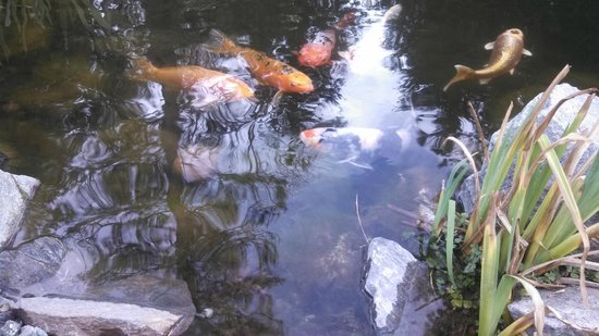 Silver Pines Lodge: The Koi pond