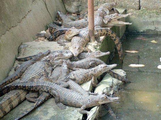 Cebu Zoo: crocodiles