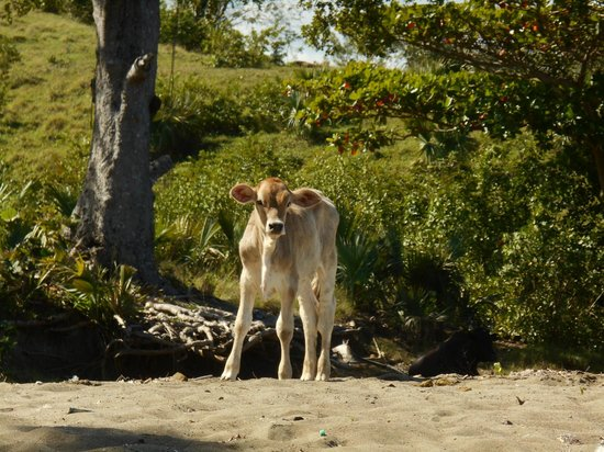 ClubHotel Riu Merengue: baby cow onr the beach