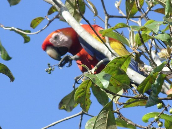 Vista Drake Lodge: Scarlet Macaw feeding above our room