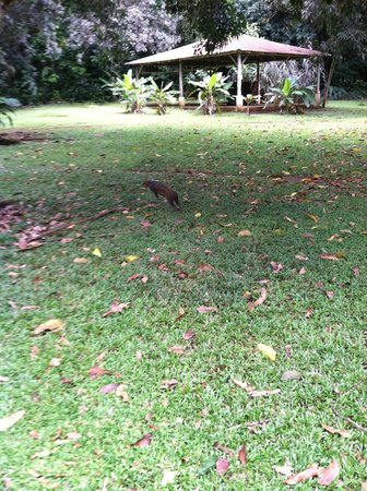 Bosque del Cabo Rainforest Lodge: Agouti