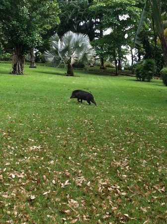 Bosque del Cabo Rainforest Lodge: White lipped peccary