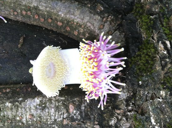 Bosque del Cabo Rainforest Lodge: Very strange flower!!